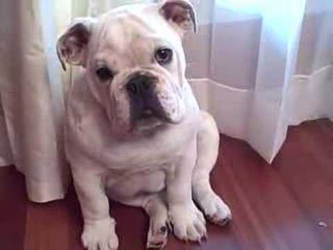 Bored English Bulldog Bored Bulldog Puppy