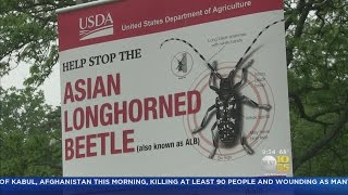 State Steps Up Fight Against Asian Longhorn Beetle