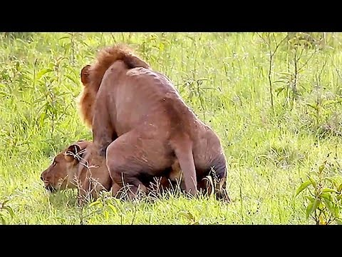 Wild Lions Mating In Africa! Video video
