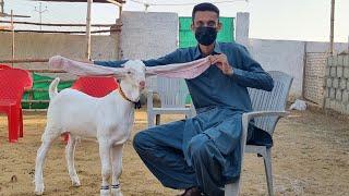 Zardari will prepare heaviest  Goat in 2019