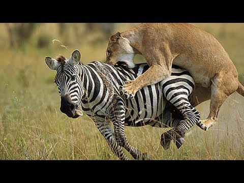 Lion Vs Zebra Fight! video
