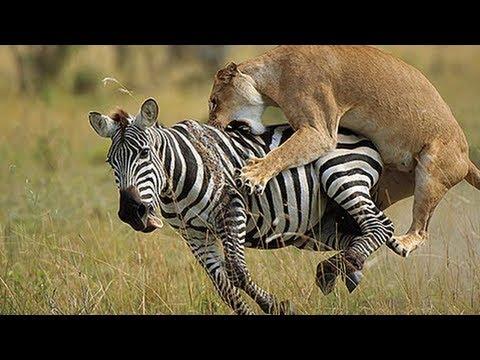 Lion Zebra Love Lion vs Zebra Fight
