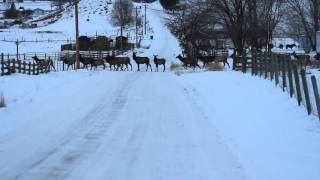 Montana Traffic Jam - Big Elk Herd
