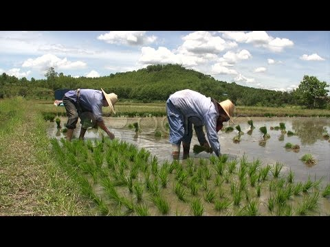 771637 Rice Farmers Planting Rural Green Field Paddies Crop Chiang Rai Thailand Asia  stock footage