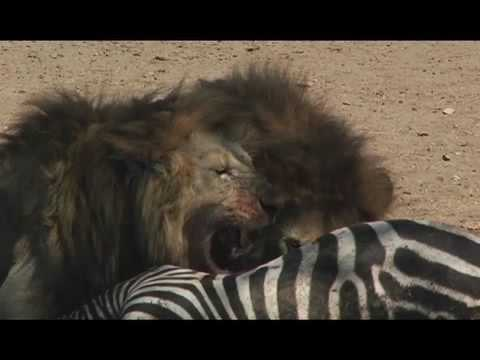 Lions Attack Zebra video