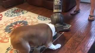Max the bulldog and the vacuum cleaner