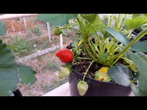 Клубника клери выращивание в теплице 48