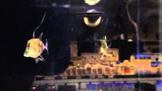 Aquacultured Look-Down Jacks