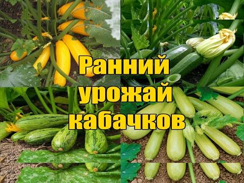 Ранний урожай кабачков / Как и когда подкармливать / Самый лучший способ
