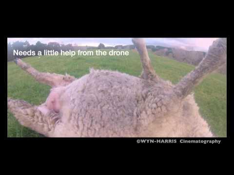 太り過ぎて動けない羊がドローンに助けられる(笑)