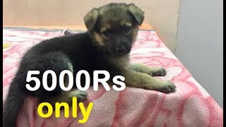 Medium coat gsd puppy only Rs 5000