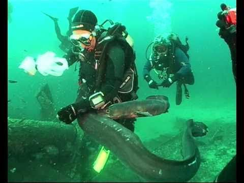 Conger eel feeding at wreck Teti (Vis, Croatia).