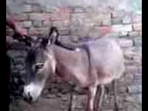sindhi man with donkey