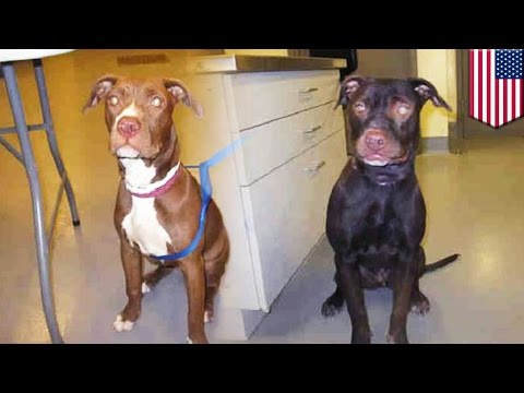 Missing Dog Reunited With Owner: Reddish-brown Pitbull Painted Black By Dog-snatcher video