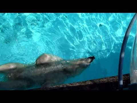 プールを漂うホッキョクグマのキロル君
