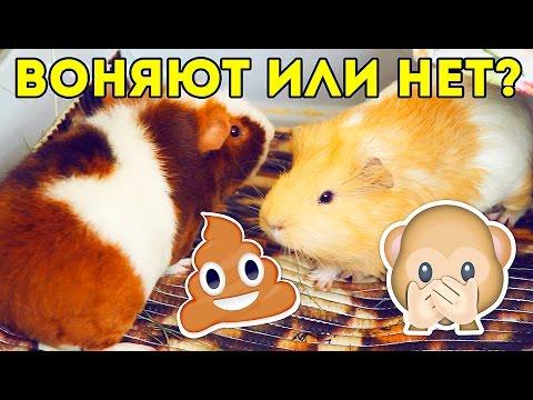 Воняют ли морские свинки? / SvinkiShow