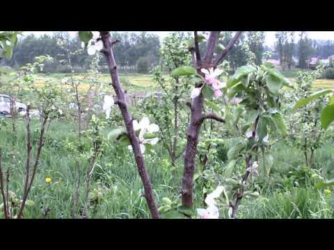 Мая зацвел сад колоновидных яблонь avi