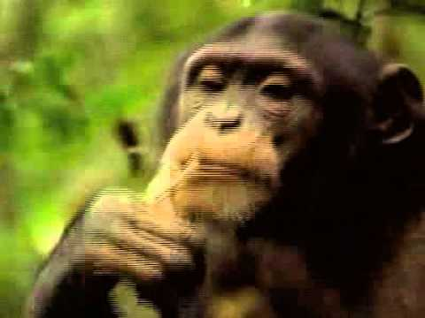 Primate extinction and rainforest degradation *