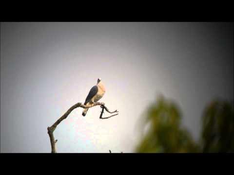 Header of Afep pigeon