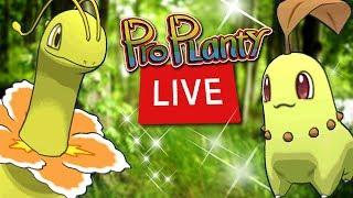 Shiny Chikorita Community Day Live Pokemon Go Hunt