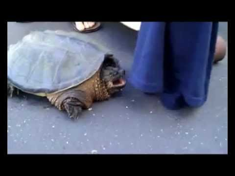 Rescuing a Snapping Turtle ( Longboarding )