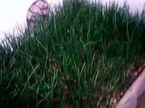 Выращивание зеленого лука в подвале.