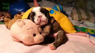 Funny & Cute French Bulldog Videos - Compilation 2017