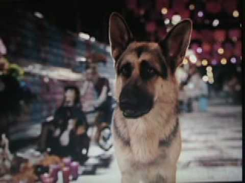 Delgado - German Shepherd Dog in Beverly Hills Chihuahua