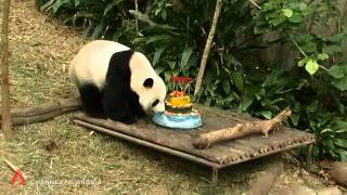 Kai Kai and Jia Jia celebrate their birthday at River Safari   Channel NewsAsia