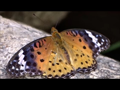 Butterfly Facts for Kids