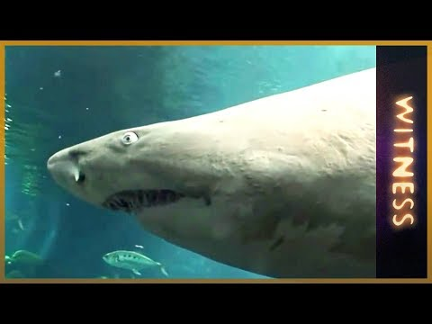 Witness - Sharks of Kuwait