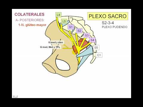 Coscarelli miologia miembro inferior 1