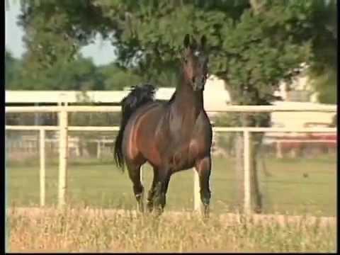 The Elixir, Arabian stallion