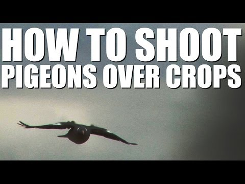 Shooting pigeons over standing crops - do's and don'ts