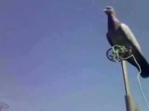 caccia al colombaccio-zimbelli volantin-piccioni jolly