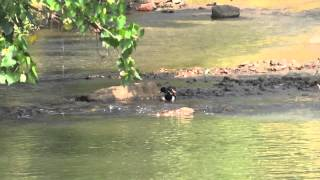 Duck Playing In Water
