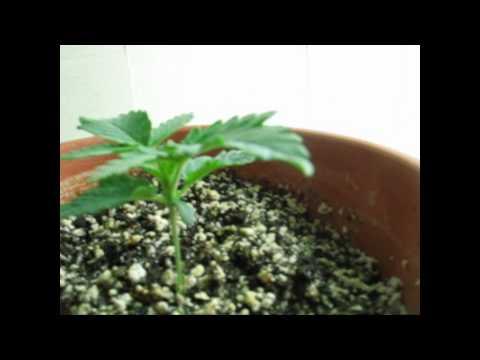 Week 2 - Indoor Marijuana Stealth CFL Cardboard Grow Box