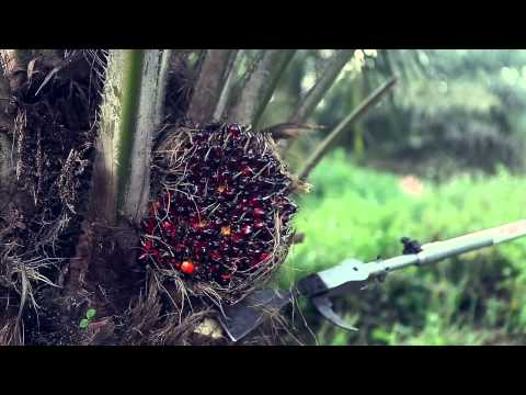 Palm Oil Palm Trees Smart Harvesting, Prunning Mechanized Chisel