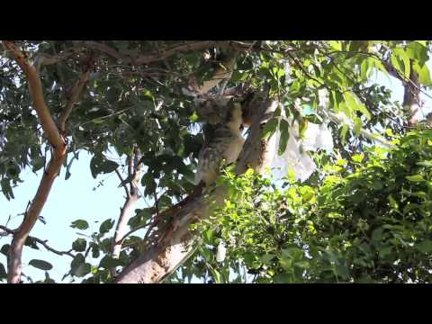 San Diego Zoo Koala Research on St. Bees Island Australia