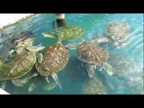 Turtles Farm, Dolphin Discovery, West Bay, Grand Cayman, Cayman Islands, Caribbean, North America