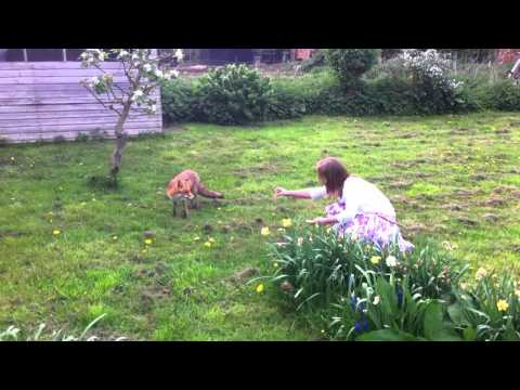 Hand feeding an urban fox in the garden!