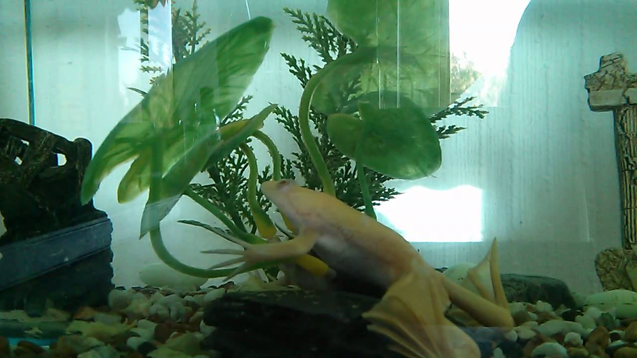 Albino African Clawed Frog Albino African Clawed Frog