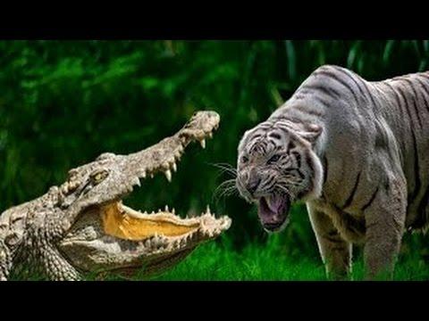 Tigre vs Cocodrilo vs Bear vs León de la parte Superior Animales Sorprendentes Peleas HD