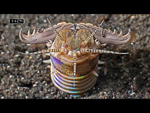 Трехметровый прожорливый монстр забытый у нас инопланетянами - Пурпурный австралийский червь