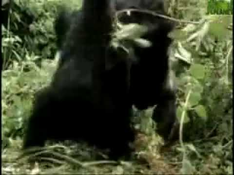 Gorilla vs Leopard - YouTube