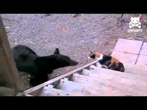 медведь против кота..flv