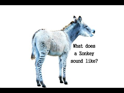 Zonkey and zorse sound they make