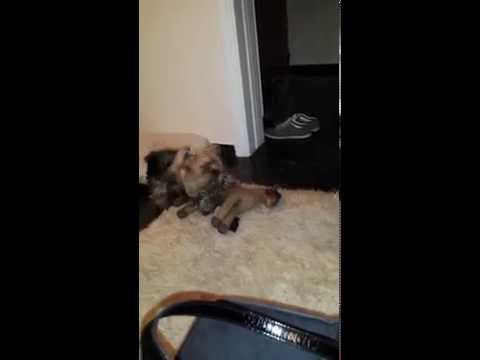 VERY FUNNY!!! CUTE YORKSHIRE TERRIER HAVING SEX WITH A TEDDY HORSE!!!   FUNIEST VIDEO EVER