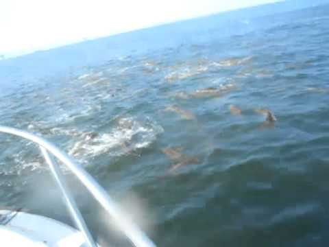 Schooling Red Drum: Dauphin Island, Alabama