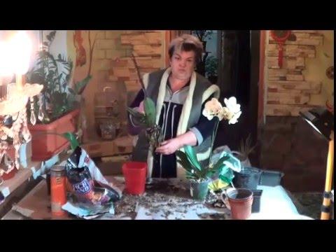 Фаленопсис ( Орхидея - Бабочка).  Что  Следует Знать О Фаленопсисе